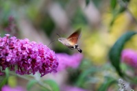 hummingbird-hawk-moth-493098_1920_MBu.jpg